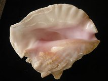 large heavy pink queen conch seashell strombus lobatus 10 x 9 x 6 - 3.5 pounds in Yucca Valley, California