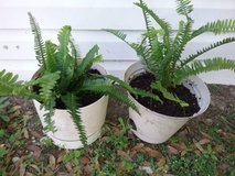 Ferns in assorted plastic pots in Beaufort, South Carolina