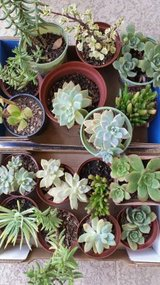 """Succulents 4-5""""  and some gallon containers in Oceanside, California"""