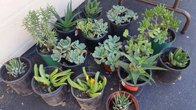 Succulents in gallon size containers in Camp Pendleton, California