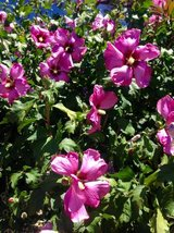 Exotic Colorful Hibiscus Plants in Vacaville, California