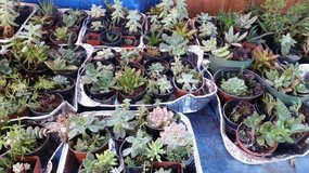 Succulents for wreaths,containers,walk ways,etc. and ground cover in Temecula, California