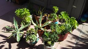 10 Ceramic Pots with Succulents, American agave ,Jade . in Camp Pendleton, California