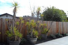 Large Dracaena/ Yucca Palm Tree/Plant in Planter in Travis AFB, California