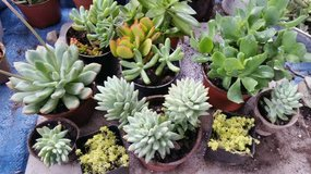 Succulents,ground cover potted succulents in a large variety,low price in Camp Pendleton, California