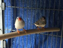 Zebra finches in Oceanside, California
