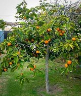 Persimmon Fruit Trees for Sale 2 to 3 ft. Tall Each in Glendale Heights, Illinois
