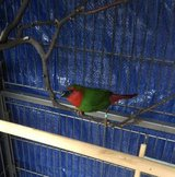 Parrot Finch Hybrid in San Diego, California