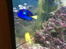 Blue Hippo Tang  (6 inch) & Yellow Tang (4 inch) in Lockport, Illinois
