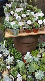 Healthy succulents,ground cover,society garlic plants at low prices in Temecula, California