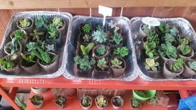 "2"" succulents for sale and other sizes in Camp Pendleton, California"