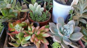 Succulents,Sedum and stone crop ground cover,cactus,etc. in Oceanside, California