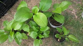 Potted Perennial Hosta plants lime green in Naperville, Illinois