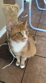 Orange male tabby looking for forever home in Lackland AFB, Texas