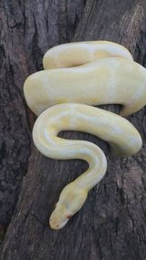 Adult Ball pythons Albino and Mojave in Oswego, Illinois