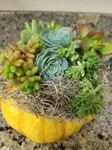 Design your pumpkins,containers,verticals with my succulents in Temecula, California