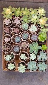 $1 Succulents and other succulents and drought tolerant plants at low prices in Oceanside, California