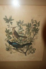 Antique 1937 Audubon Print Boat Tailed Grackle in Kingwood, Texas