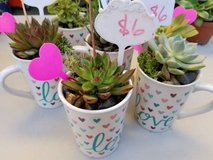 Blooming Succulents and other drought tolerant plants at low prices in Oceanside, California