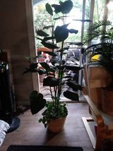 "63"" Tall Artificial Broad Leaf Silk Plant in pot I will be in Fairfield on 6/16 if you want me t... in Roseville, California"
