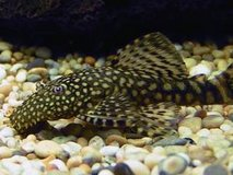 Free - 3 Plecos and 4 Snails - from my fresh water tank - Free in Fort Rucker, Alabama