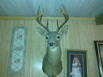 Taxidermy Deer Head Mounts in Huntsville, Texas