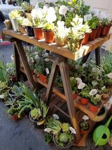 100's of low priced succulents,Iris and Society Garlic plants in Temecula, California