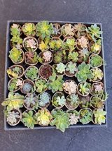 """2"""" succulents for sale and other sizes in Camp Pendleton, California"""