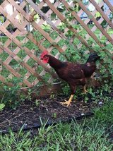Re homing Rooster in Tampa, Florida