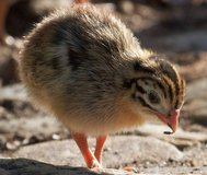 Are you interested in Guineas- baby keets? $ 9.99 each or 10 for$70 in Fort Lewis, Washington