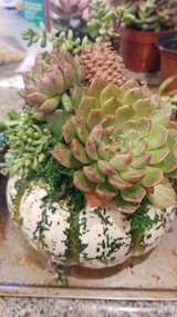 Succulents for your pumpkins and yard designs at low prices in Camp Pendleton, California