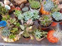 "Great variety of low priced succulents from 2"" to 1 gallon size in Camp Pendleton, California"