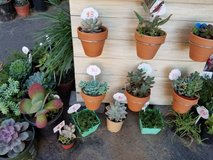 Succulents,arrangements and pumpkins with succulents at low prices in Camp Pendleton, California