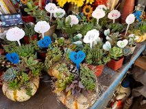Succulents,Pumpkin and cork trio arrangements at low prices in Camp Pendleton, California