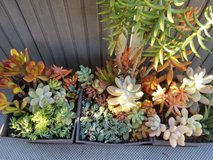 Below retail nice variety of succulents in Camp Pendleton, California