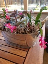 Rope tin with blooming Holiday Cactus in Camp Pendleton, California