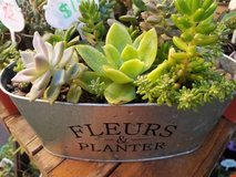 Inexpensive succulent arrangements and 100's of succulents lower than in Oceanside, California