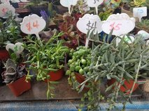 String of Bananas, String of Pearls, Fish hook ,Donkey's tail,etc. in Camp Pendleton, California