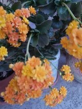 Succulents,drought tolerant plants and arrangements at low prices in Vista, California