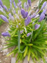 Blooming Agapanthus,succulents,arrangements and drought tolerant plant in Camp Pendleton, California