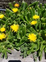 South African tongue plants..open on Sundays too! in Camp Pendleton, California