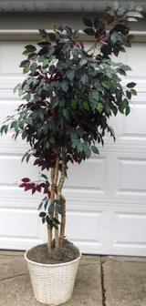 Artificial Potted Tree - white wicker Pot - ~6ft+ in Orland Park, Illinois