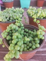 String of Pearls and other succulents and plants in Camp Pendleton, California